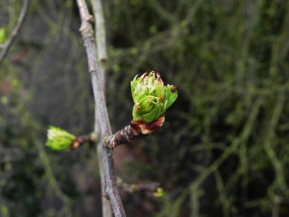 Hawthorn Leaves