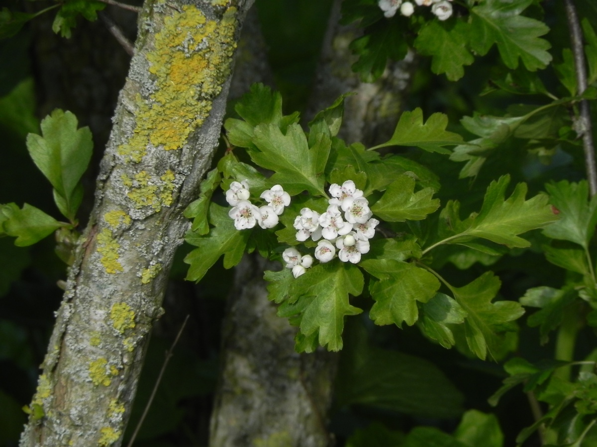 Early May Blossom