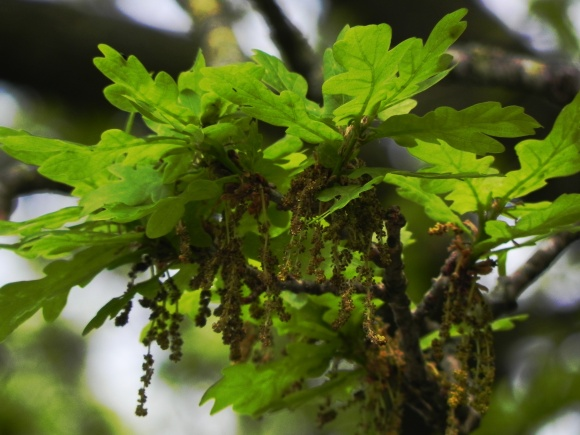 Oak Flowers