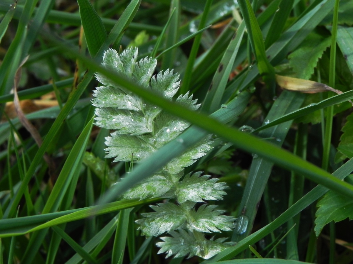 Tiny Silverweed leaf - hiding in the grass.