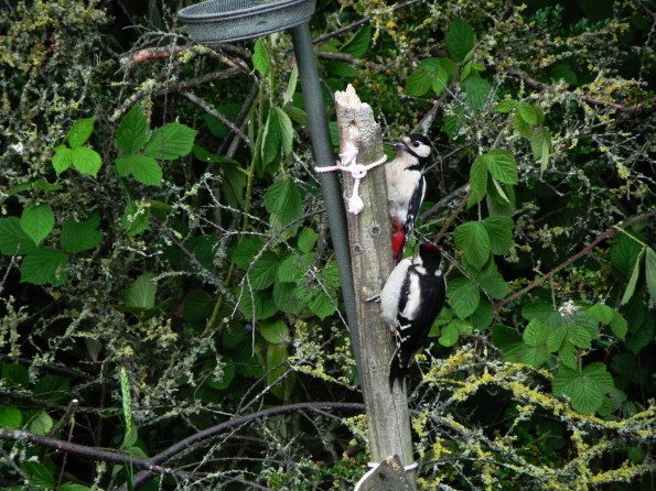 Spotted Woodpecker Pair