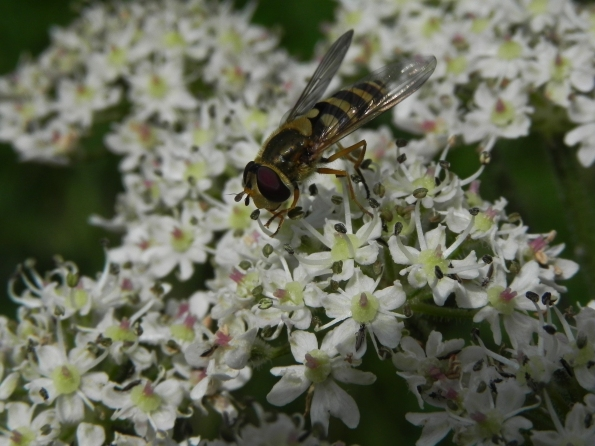 Hoverfly in the Hogweed
