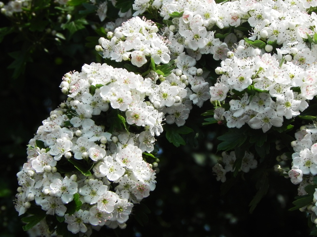 May Blossom - Covering the Hedges, Like Washing Spread Out to Dry