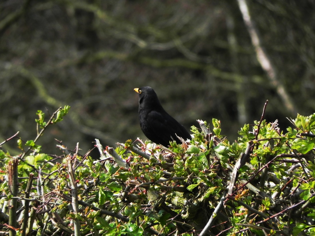 Blackbird - keeping a look out
