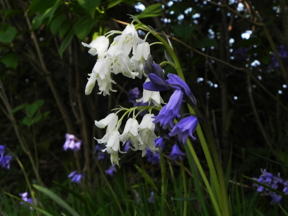 Dressed for the ball - Bluebells