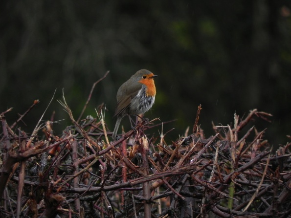 Doleful Robin