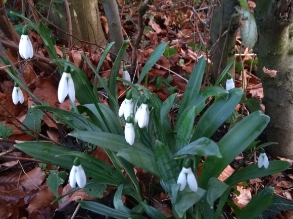 This Years First Snowdrops