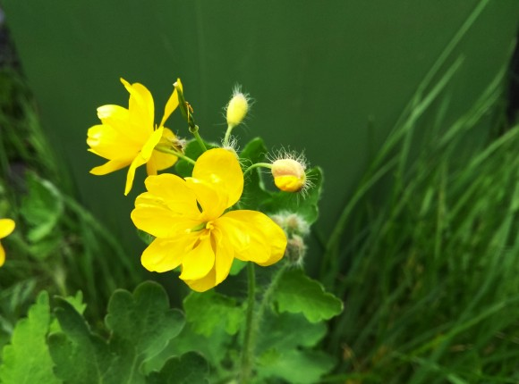 Greater Celandine or Swallowort