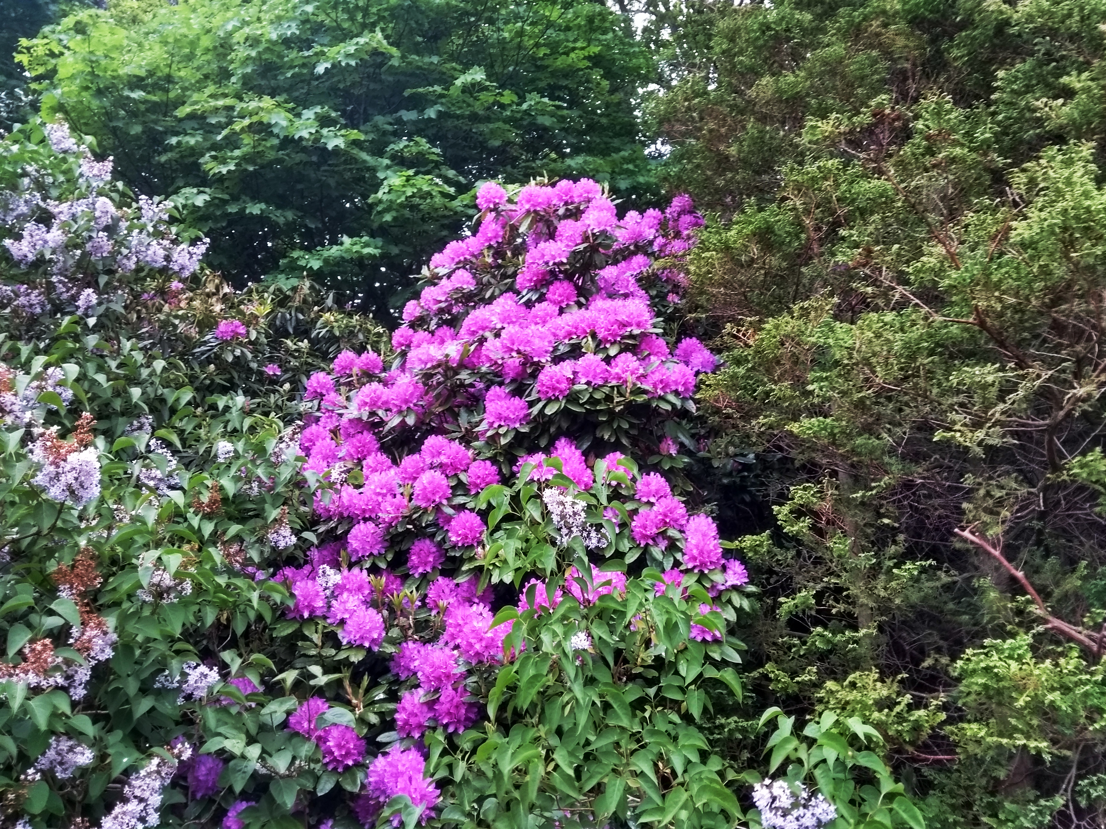 rhododendrons-2020-05-22-3648x2736-1